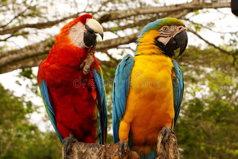 Couple of macaw parrots. In the colombia stock photos