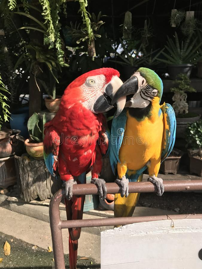 A couple of Macaws. A couple of cute Macaws royalty free stock image
