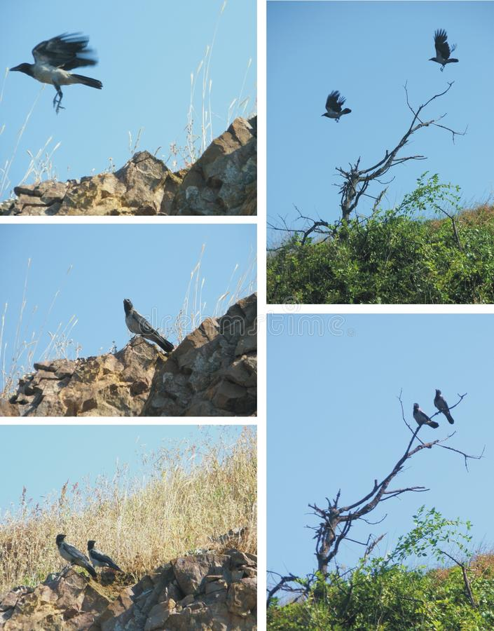 Download Couple Of Magpies Collage Royalty Free Stock Photos - Image: 13325168