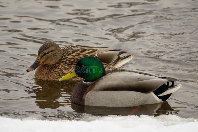 Couple of Mallard ducks stock photography