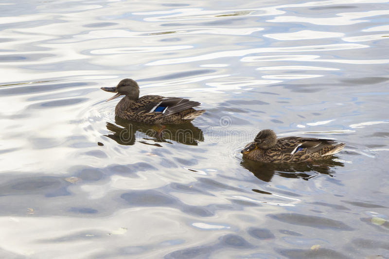 Couple of mallard ducks in shimmering water in a calm lake. Birds, mallards (Anas platyrhynchos), swimming in a calm lake with silvery water surface. One with royalty free stock photo