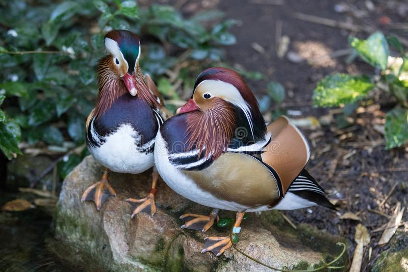Pair of Mandarin duck in the Adelaide zoo. Aix galericulata stock image