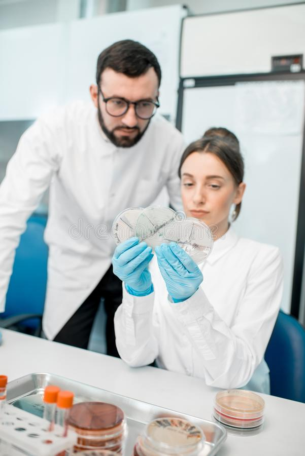Laboratory assistants in the bacteriological department. Couple of medics in uniform looking on the effect of antibiotics on bacteria in Petri dishes making stock image