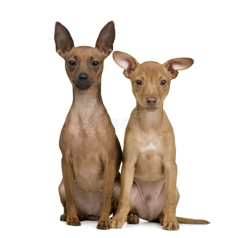 Couple of miniature Pinscher () royalty free stock images
