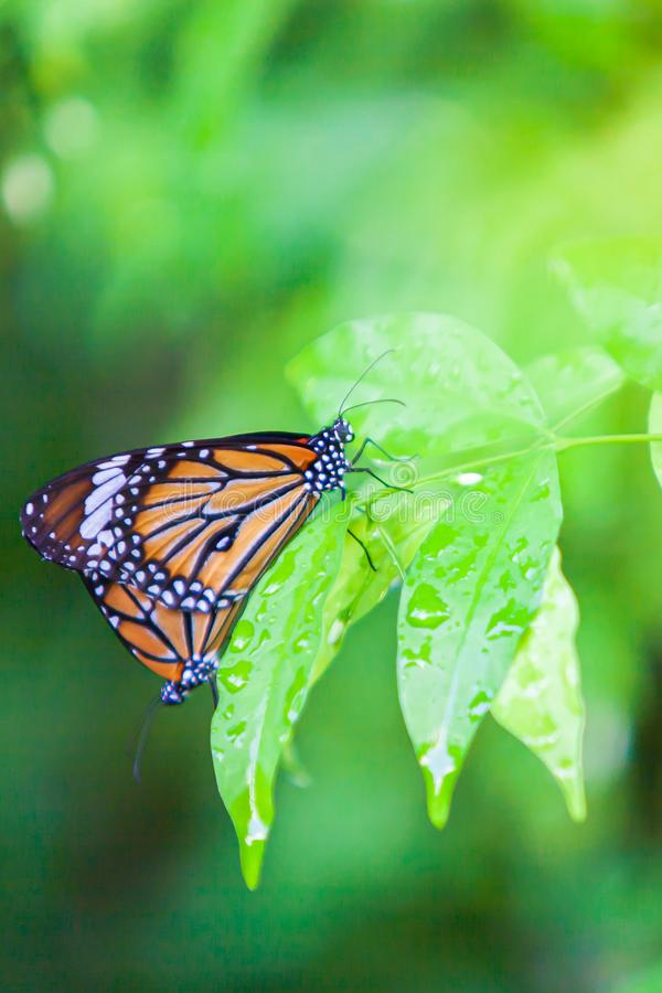 Couple Monarch butterflies mating on green leaf after the rain. Water drops on green leaves. Close-up. Selective focus royalty free stock images
