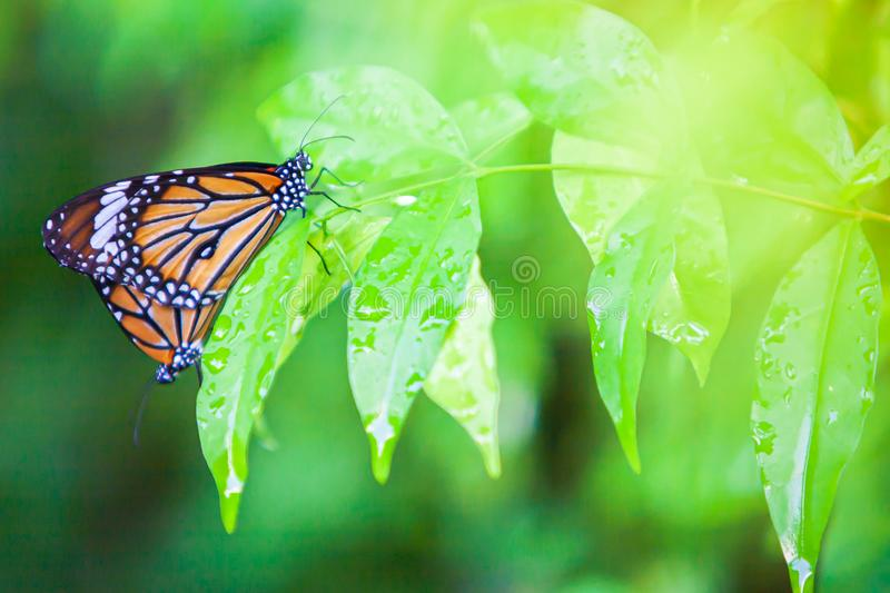 Couple Monarch butterflies mating on green leaf after the rain. Water drops on green leaves. Close-up. Selective focus stock photo