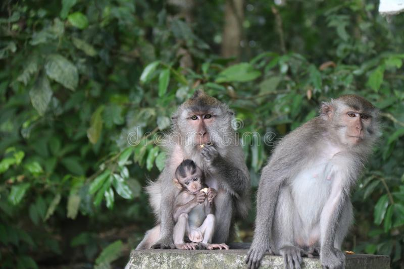 Couple of Monkeys with their kid royalty free stock photo