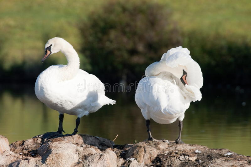 Couple Of Mute Swans Royalty Free Stock Photo