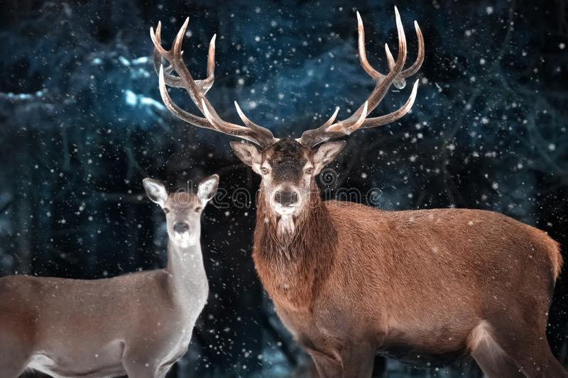 Couple of noble deer in a snowy forest. Natural winter image. Winter wonderland. stock photos
