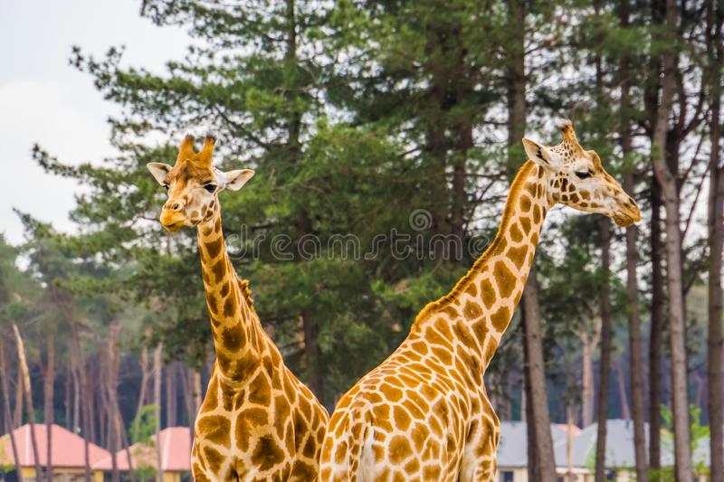 Couple of nubian giraffes together, sub specie of the northern giraffe, Critically endangered animal specie from Africa. A couple of nubian giraffes together stock photos