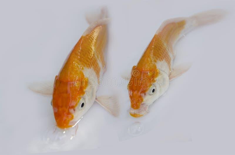 Couple orange and white carp fishes royalty free stock photo
