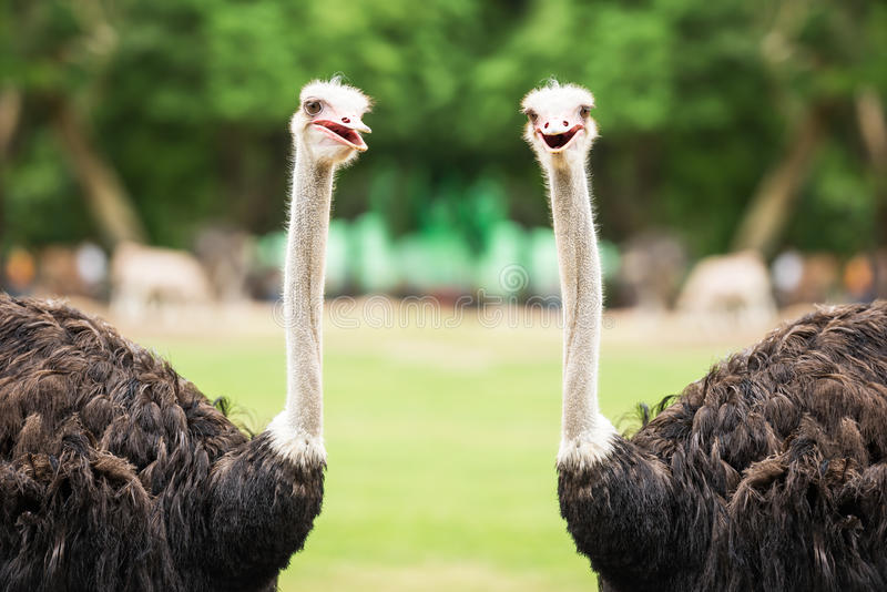 Couple ostrich. Portrait of the couple ostrich in natural park stock image