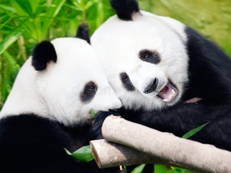 Couple of pandas stock image