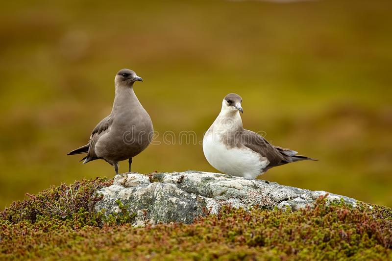Couple of Parasitic Jaeger Stercorarius parasiticus sitting on a stone in the Norwegian Tundra. Wildlife scene from Varangerfjord stock photo