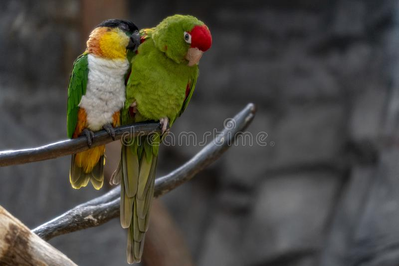 Parrot sleeping on a tree branch stock photography