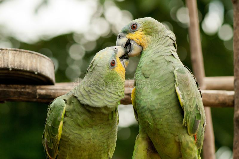 Couple of parrots love kiss. Couple of parrots, love kissing in the jungle royalty free stock photography