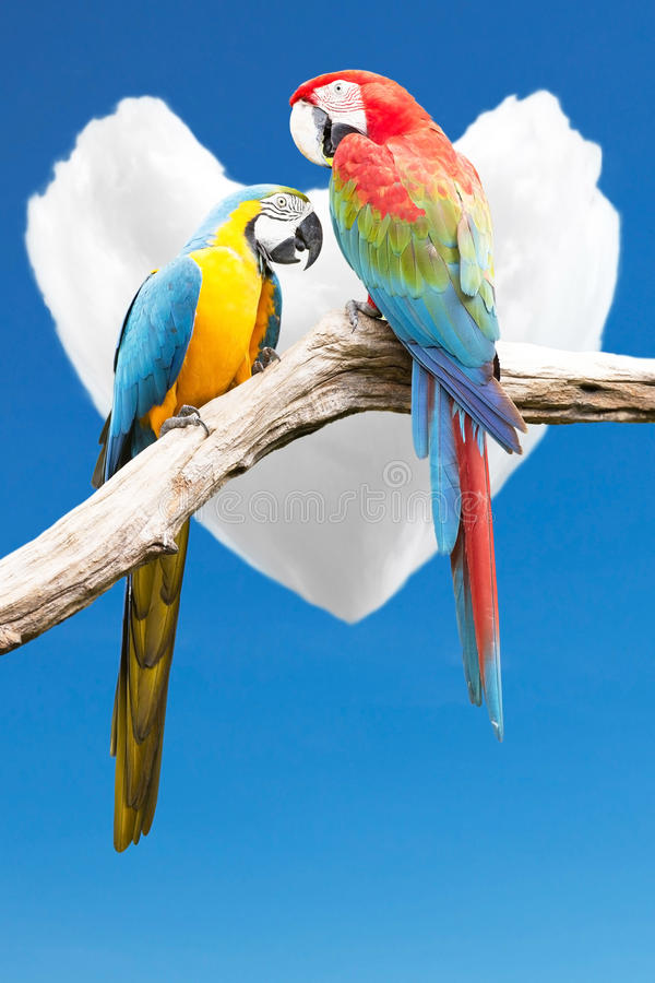 Couple of parrots macaws royalty free stock images