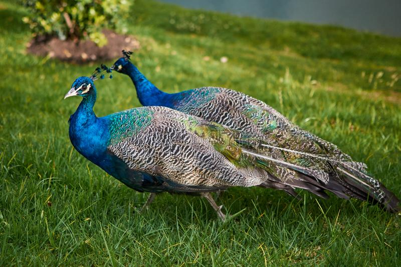 Couple of peacocks walking on the green grass at sunset royalty free stock image