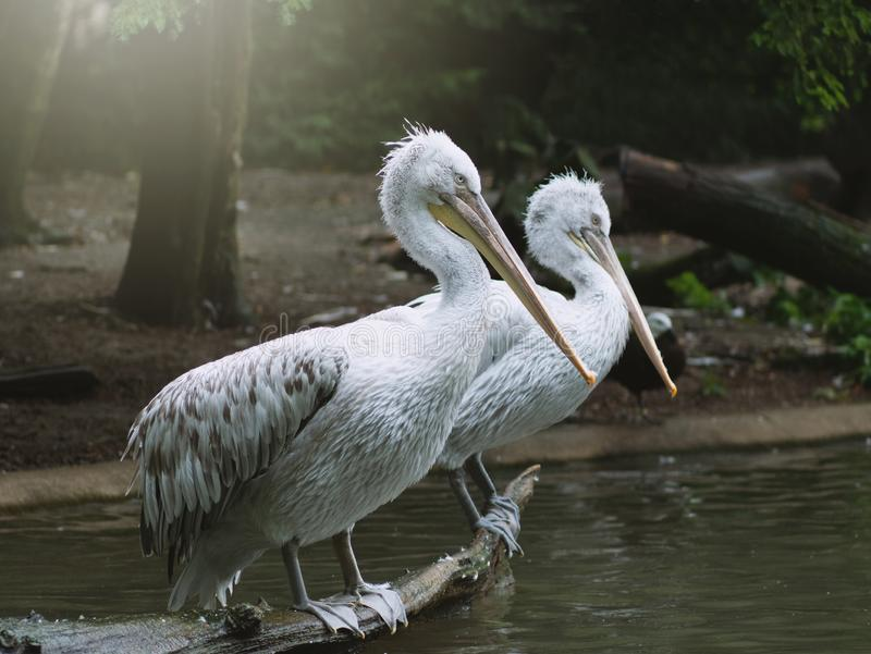Couple of Pelicans sitting on brunch. Two white Pelicans sitting on brunch drying their feathers stock photos