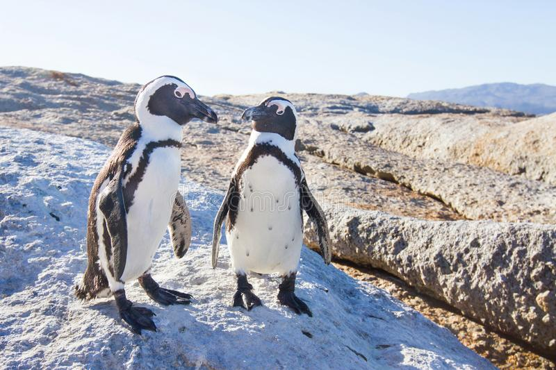 Couple of penguins in love stock photos