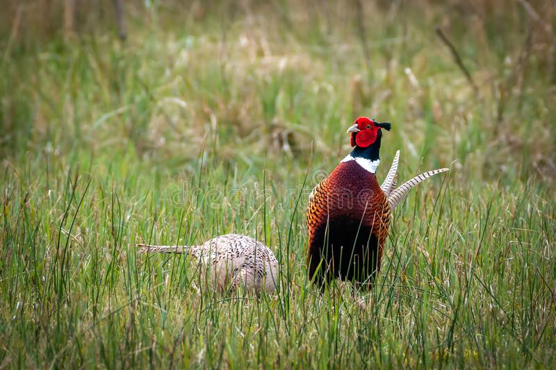 Couple of pheasants in the meadow. Pheasant male jealously watching over his female in the meadow