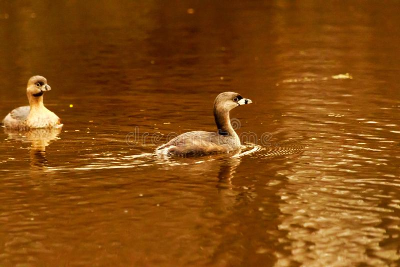 Take A Dip. A couple of Pied-Billed Grebe taking a dip in the lake at the Bald Knob Wildlife Refuge in Bald Knob, Arkansas 2017 royalty free stock photography