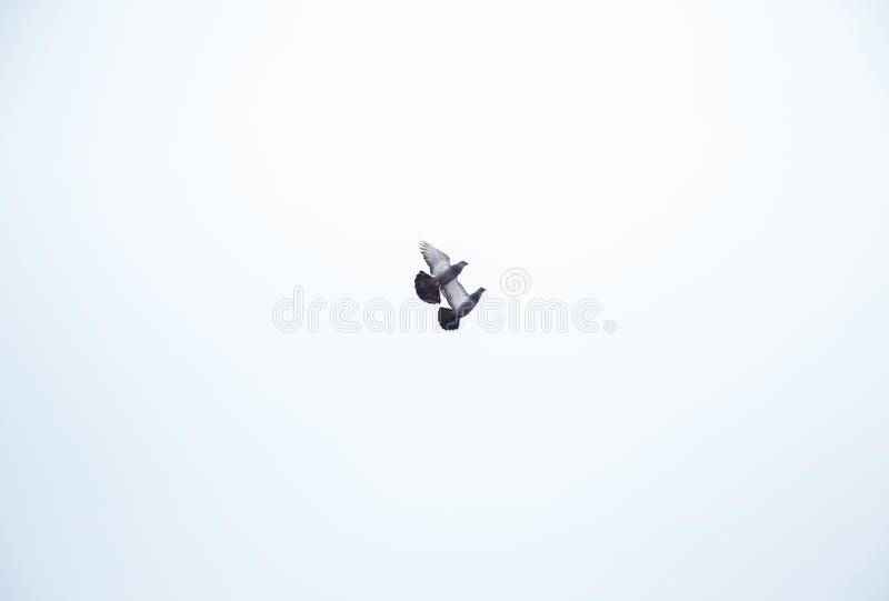 Couple of pigeon 2 royalty free stock images
