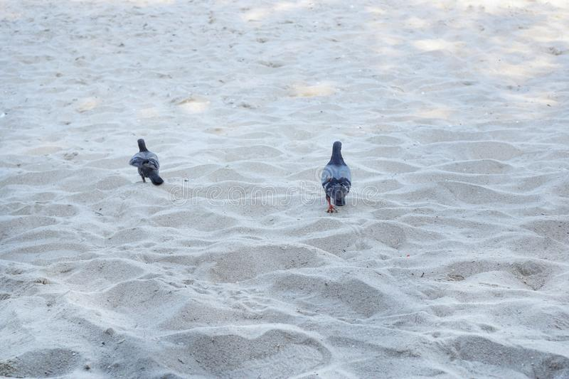 Couple pigeon walking on sand beach in the morning stock photo