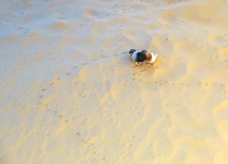 Couple of pigeons in love in the sand of the beach of Cadiz. Andalusia. Spain. royalty free stock photography