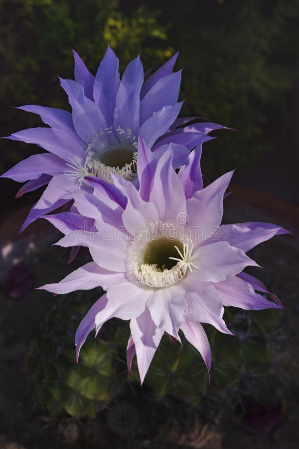 A couple of pink cereus cactus flowers to live only one day. royalty free stock photo