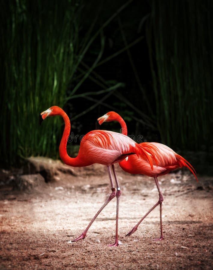 Couple pink Flamingo on the sand stock image
