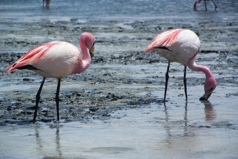 A couple of pink flamingos feed themselves on the surface of salina lake - Laguna Hedionda royalty free stock image