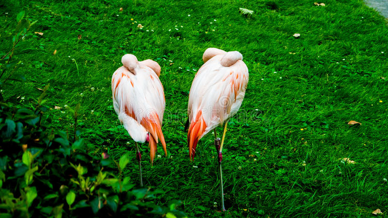 Couple of pink flamingos royalty free stock images
