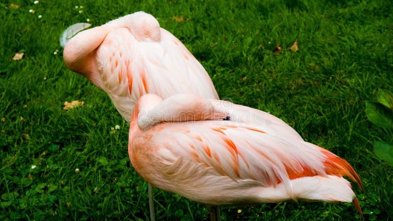 Couple of pink flamingos stock image