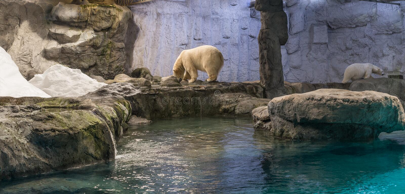 Couple of Polar Bear (Also known as Thalarctos Maritimus). Couple of Polar Bear (Also known as Thalarctos Maritimus or Ursus Maritimus) resting over ice royalty free stock image