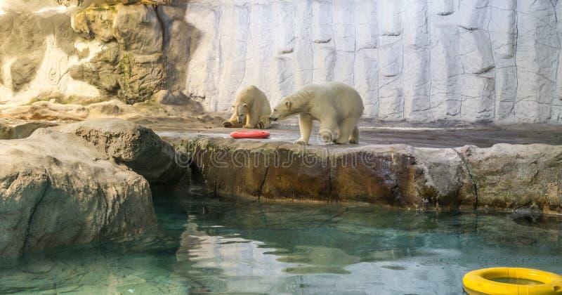 Couple of Polar Bear (Also known as Thalarctos Maritimus). Couple of Polar Bear (Also known as Thalarctos Maritimus or Ursus Maritimus) resting over ice stock image
