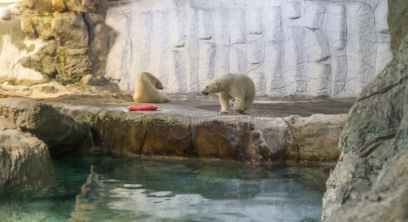 Couple of Polar Bear (Also known as Thalarctos Maritimus). Couple of Polar Bear (Also known as Thalarctos Maritimus or Ursus Maritimus) resting over ice stock images