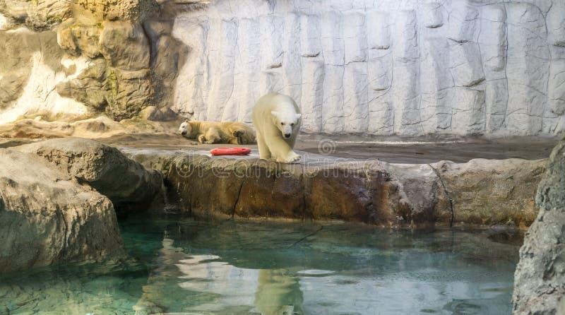 Couple of Polar Bear (Also known as Thalarctos Maritimus). Couple of Polar Bear (Also known as Thalarctos Maritimus or Ursus Maritimus) resting over ice stock photography
