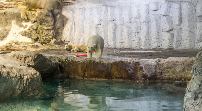 Couple of Polar Bear (Also known as Thalarctos Maritimus). Couple of Polar Bear (Also known as Thalarctos Maritimus or Ursus Maritimus) resting over ice stock photo