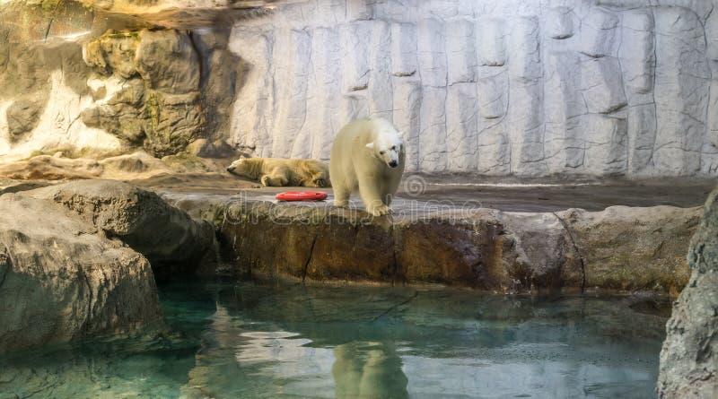 Couple of Polar Bear (Also known as Thalarctos Maritimus). Couple of Polar Bear (Also known as Thalarctos Maritimus or Ursus Maritimus) resting over ice stock photos