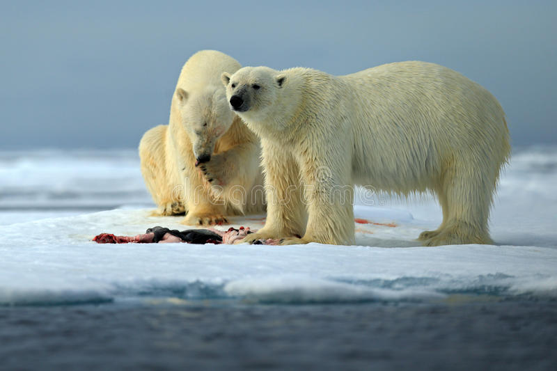 Couple of polar bears tearing hunted bloody seal skeleton in Arctic Svalbard stock image