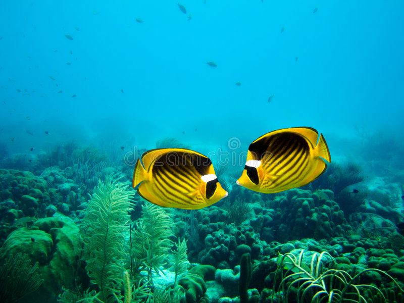 Download Couple Of Raccoon Butterfly Fish Stock Image - Image: 4347801