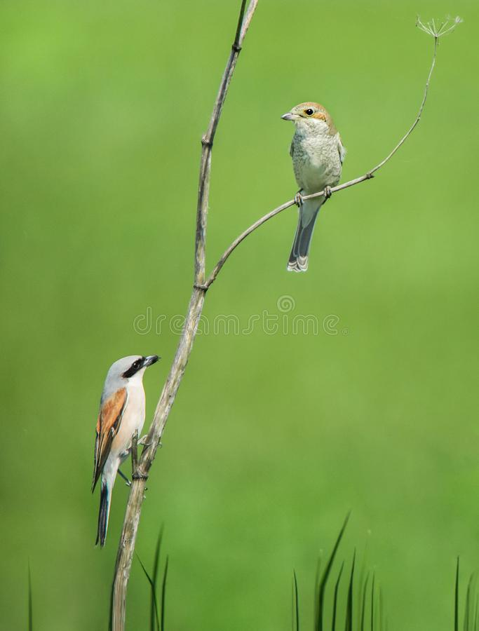 Couple of red-backed shrikes sitting on a withered wild carrot stock images