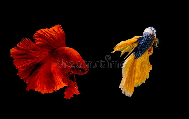 Couple of red and blue yellow betta fish, Siamese fighting fish was isolated on black background. Fish also action of turn head in. Different direction during royalty free stock photography