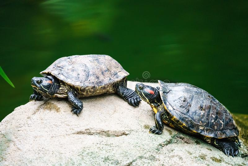 Couple of red-eared sliders on rock by pond on green water natural background. Turtle wildlife. Close up view royalty free stock photos
