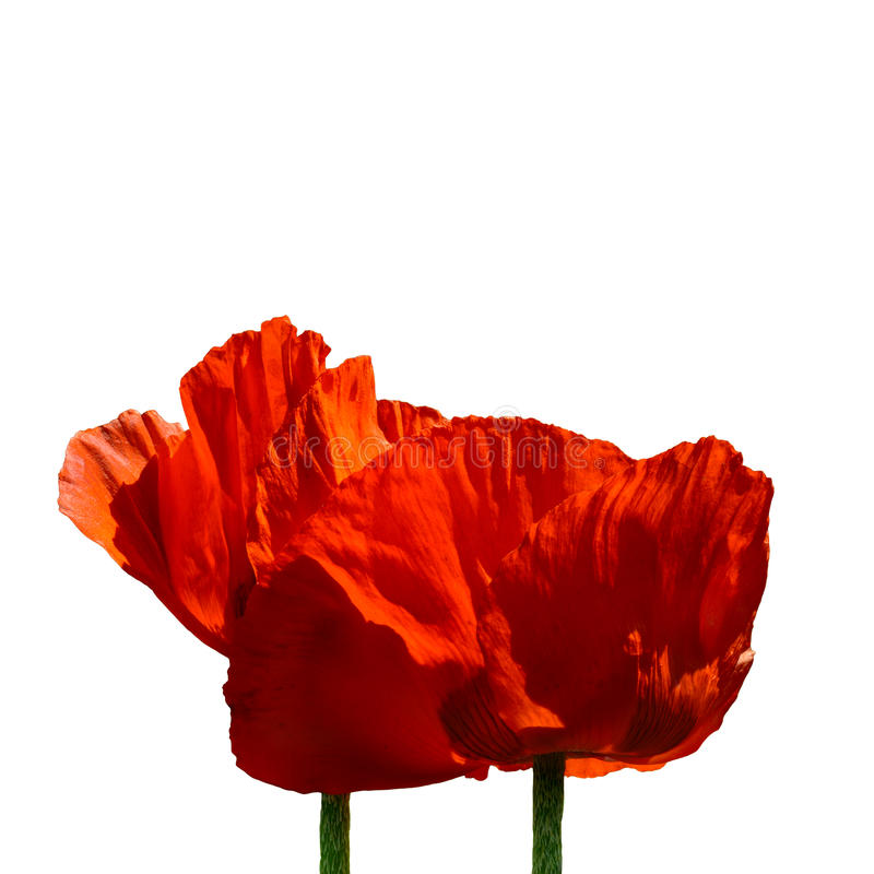 couple of red poppies stock photos
