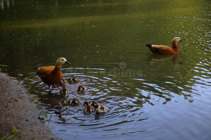 A couple of ruddy shelducks with their newly hatched chicks royalty free stock images