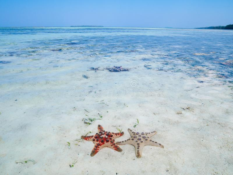 Couple of seastar in turquoise transparent water, tropical caribbean sea, clean uncontaminated environment, Indonesia royalty free stock photo