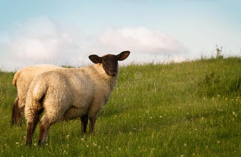 A Couple Sheep Grazing in a Pasture royalty free stock photo