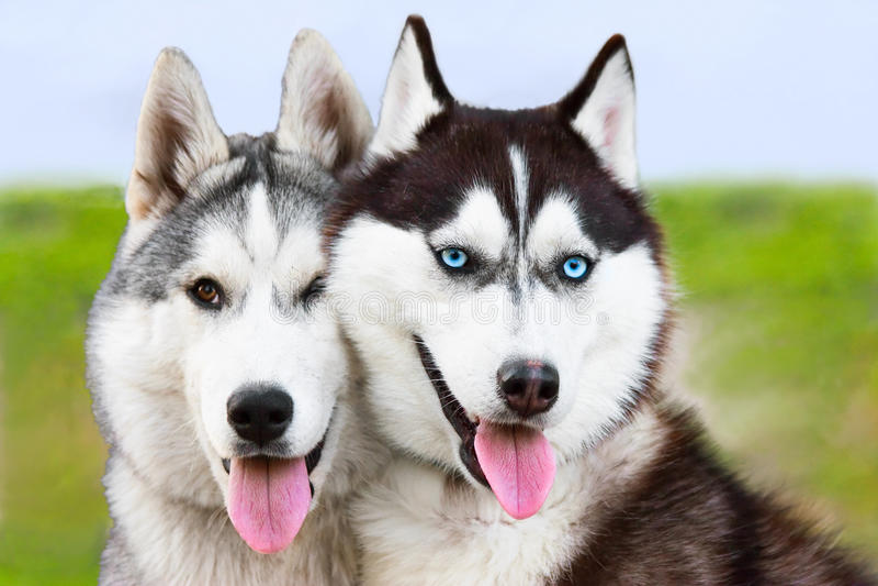 Couple of siberian husky sled dogs royalty free stock photo